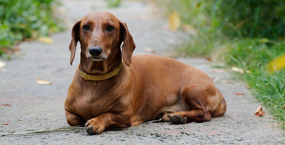 Are You Thinking About Adding A Dachshund To Your Family Or Already Living With One Then Ve Come The Right Place