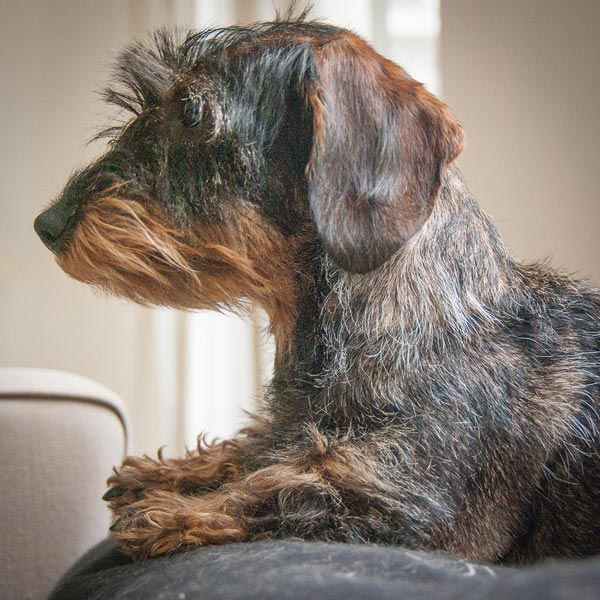 Brown and black wire haired dachshund. Photo by Bas Leenders/Flickr