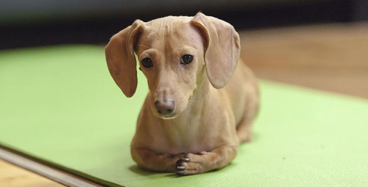 Dachshund Dog Breed 101: Info, Puppies, Training, More